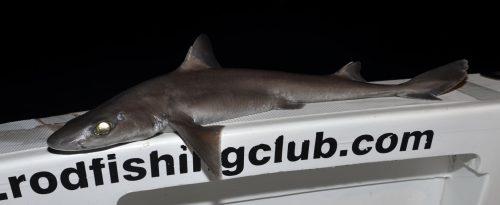 Aiguillat a peau rugueuse (Cirrhigaleus asper) pris en grande profondeur - www.rodfishingclub.com - Ile Rodrigues - Maurice - Océan Indien