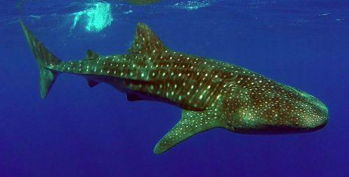 Requin baleine sous le bateau - www.rodfishingclub.com - Ile Rodrigues - Maurice - Océan Indien