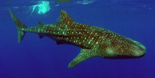 Underwater whale shark close to the boat - www.rodfishingclub.com - Rodrigues Island - Mauritius - Indian Ocean