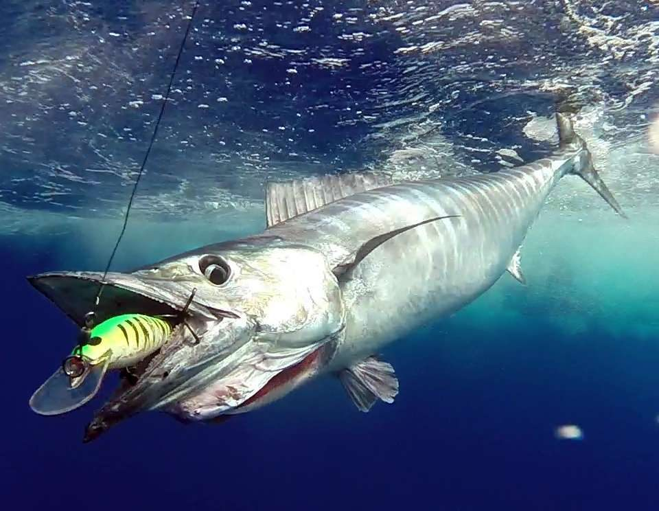 Wahoo caught on trolling with a Williamson Speed Pro Deep 180 - www.rodfishingclub.com - Rodrigues Island - Mauritius - Indian Ocean