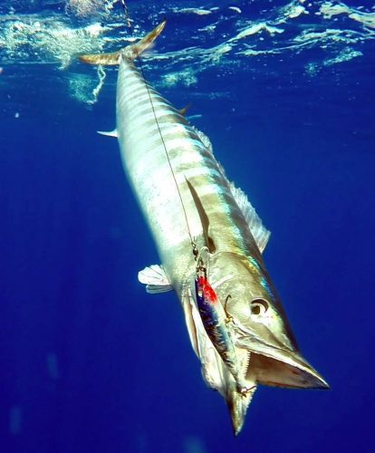 Wahoo on trolling - www.rodfishingclub.com - Rodrigues Island - Mauritius - Indian Ocean