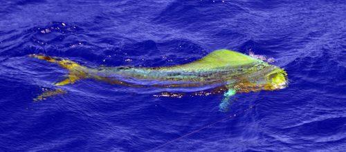 12kg dorado on trolling -www.rodfishingclub.com - Rodrigues Island - Mauritius - Indian Ocean
