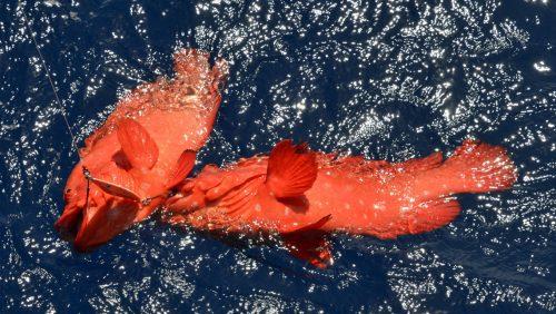 Doublé de mama rouge pris en slow jigging - www.rodfishingclub.com - Rodrigues - Maurice - Océan Indien