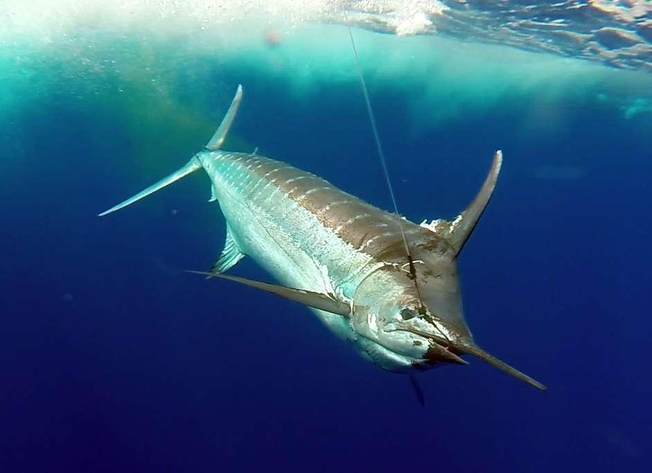 Marlin bleu en pêche a la traîne avant la relâche - www.rodfishingclub.com -Rodrigues - Maurice - Océan Indien