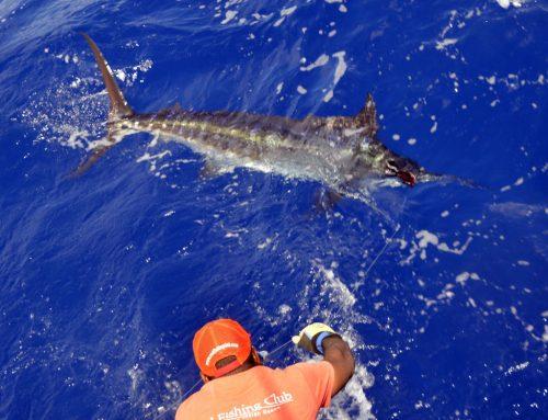 Blue marlin on leader - www.rodfishingclub.com - Rodrigues - Mauritius - Indian Ocean