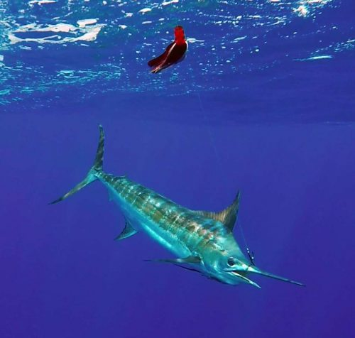 Marlin bleu au bateau avant relâche - www.rodfishingclub.com - Rodrigues - Maurice - Océan Indien