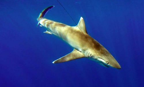 Requin pointe blanche prise en pêche a l'appât avant relâche - www.rodfishingclub.com - Rodrigues - Maurice - Océan Indien