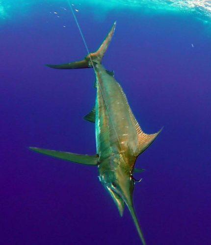 Marlin bleu au bas de ligne - www.rodfishingclub.com - Rodrigues - Maurice - Océan Indien