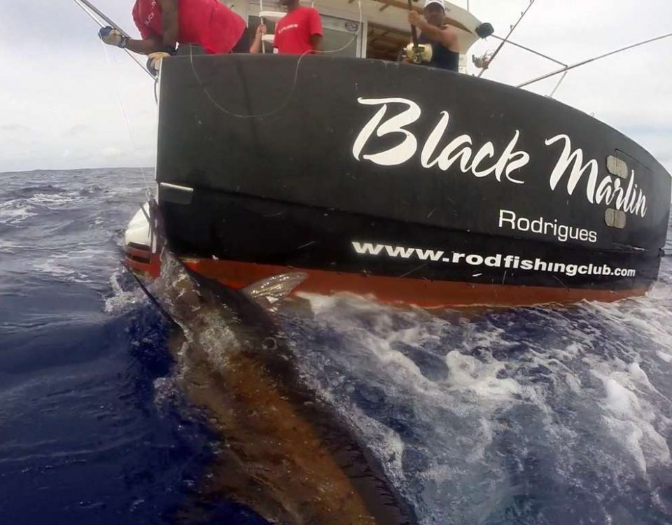 Marlin bleu pris en pêche a la traîne - www.rodfishingclub.com - Rodrigues - Maurice - Océan Indien