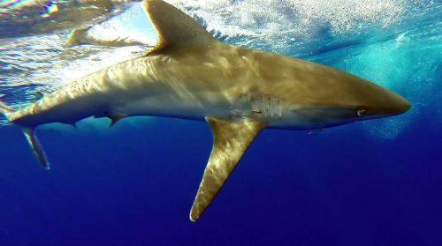 Requin pointe blanche avant relâche - www.rodfishingclub.com - Rodrigues - Maurice - Océan Indien