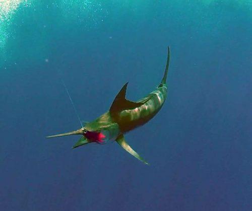 Underwater blue marlin on trolling - www.rodfishingclub.com - Rodrigues - Mauritius - Indian Ocean
