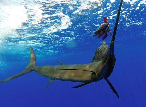 Voilier au bateau pris en pêche a la traîne - www.rodfishingclub.com - Rodrigues - Maurice - Océan Indien