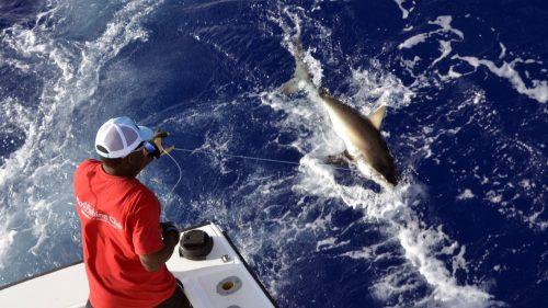 Requin pointe blanche avant relâche en pêche a l'appât - www.rodfishingclub.com - Rodrigues - Maurice - Océan Indien