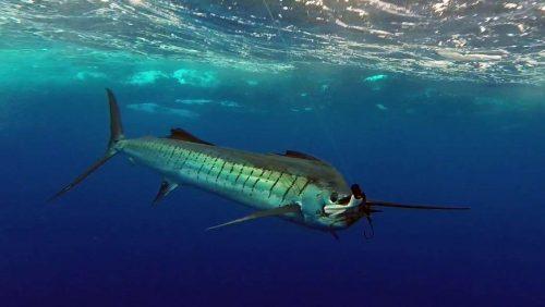 Voilier en pêche a la traîne - www.rodfishingclub.com - Rodrigues - Maurice - Océan Indien