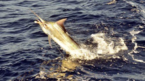 Marlin noir au saut en peche a la traine pris sur un Williamson Speed Pro Deep - www.rodfishingclub.com - Rodrigues - Maurice - Ocean Indien