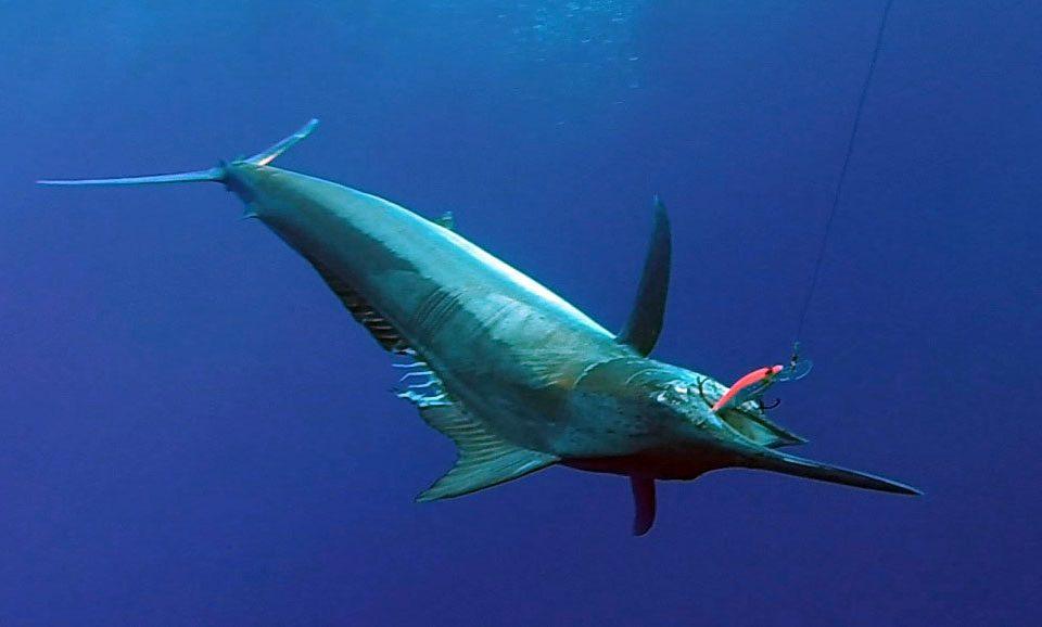Marlin noir en peche a la traine pris sur un Williamson Speed Pro Deep - www.rodfishingclub.com - Rodrigues - Maurice - Ocean Indien