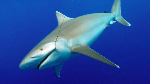 Requin pointe blanche en pêche a l appat