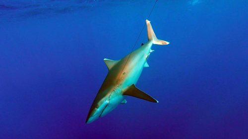 Requin pointe blanche en peche a l appat