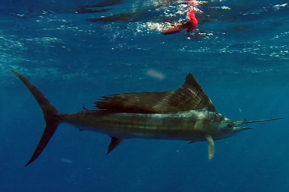 Sailfish before releasing on trolling