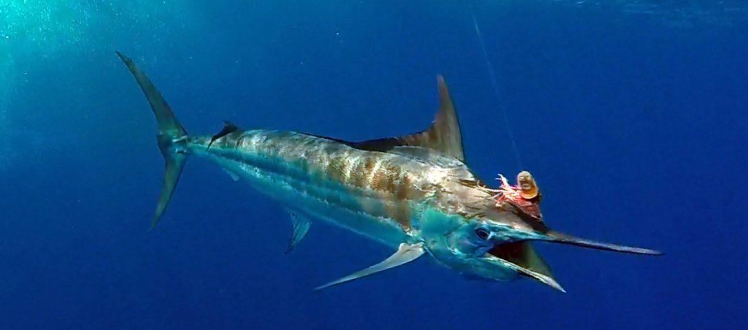 Marlin bleu en peche a la traine - www.rodfishingclub.com - Rodrigues - Maurice - Océan Indien