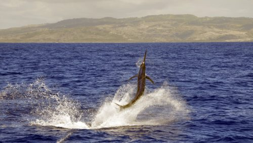 Marlin noir en peche au vif - www.rodfishingclub.com - Rodrigues - Maurice - Ocean Indien
