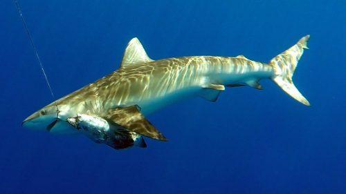 Requin pris en peche a l appat - www.rodfishingclub.com - Rodrigues - Maurice - Ocean Indien