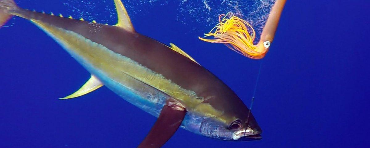 Thon jaune en peche a la traine au bateau - www.rodfishingclub.com - Rodrigues - Maurice - Océan Indien