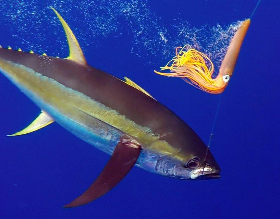 Underwater yellowfin tuna on trolling - www.rodfishingclub.com - Rodrigues - Mauritius - Indian Ocean
