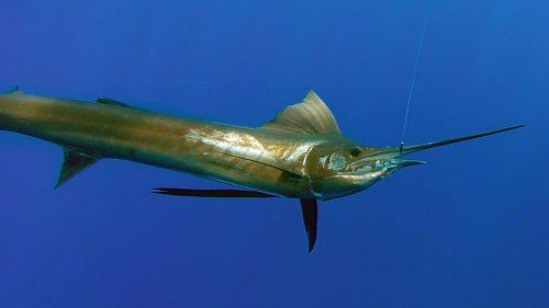 Voilier en peche a la traine - www.rodfishingclub.com - Rodrigues - Maurice - Océan Indien