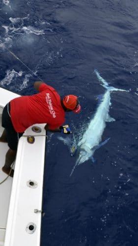 Marlin noir au bateau en peche a la traine - www.rodfishingclub.com - Rodrigues - Maurice - Océan Indien