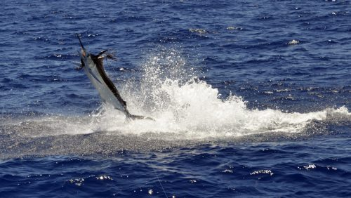 Blue marlin jumping caught on trolling - www.rodfishingclub.com - Rodrigues - Mauritius - Indian Ocean