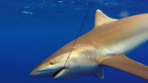 Whitetip shark on baiting - www.rodfishingclub.com - Rodrigues - mauritius - indian ocean