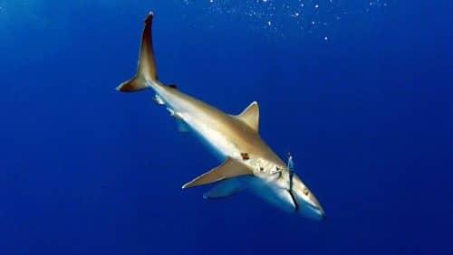 Whitetip shark on trolling on a speed pro deep williamson - www.rodfishingclub.com - Rodrigues - Mauritius - Indian Ocean