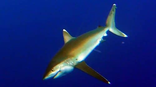 Big whitetip shark on baiting - www.rodfishingclub.com - Rodrigues - Mauritius - Indian Ocean