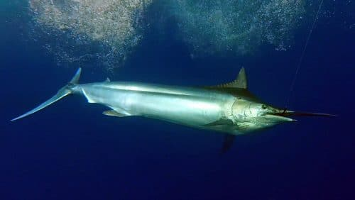 Black marlin caught on trolling - www.rodfishingclub.com - Rodrigues - Mauritius - Indian Ocean