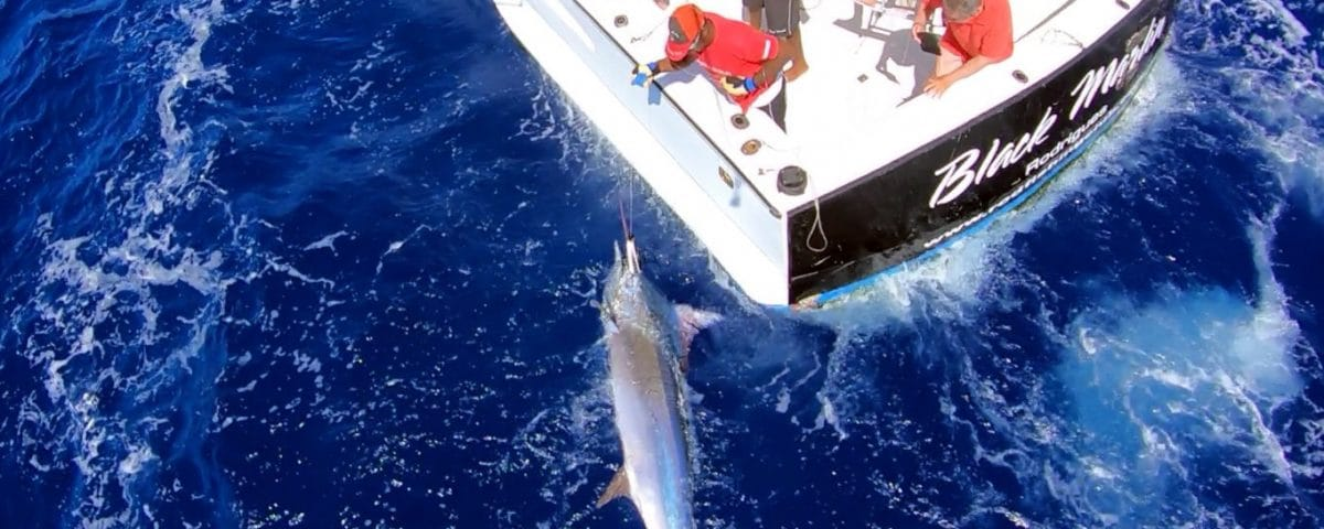 Black marlin on trolling on leader - www.rodfishingclub.com - Rodrigues - Mauritius - Indian Ocean
