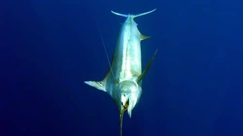 Black marlin on trolling - www.rodfishingclub.com - Rodrigues - Mauritius - Indian Ocean