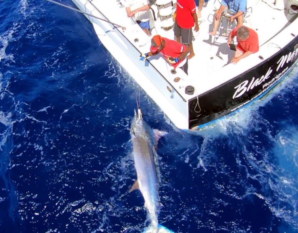 Marlin noir en peche a la traine au bas de ligne - www.rodfishingclub.com - Rodrigues - Maurice - Océan Indien