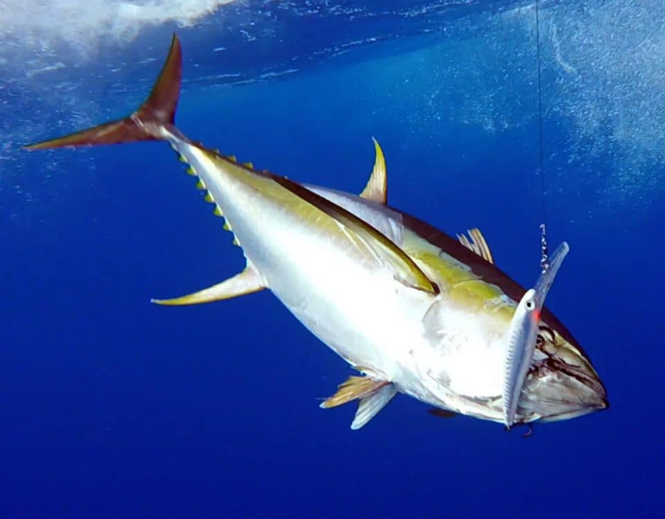 Yellowfin tuna on a rapala X Rap - www.rodfishingclub.com - Rodrigues - Mauritius - Indian Ocean