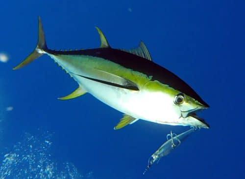 Yellowfin tuna on trolling on a williamson speed pro deep - www.rodfishingclub.com - Rodrigues - Mauritius - Indian Ocean