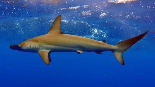 Hammerhead shark - www.rodfishingclub.com - Rodrigues - Mauritius - Indian Ocean