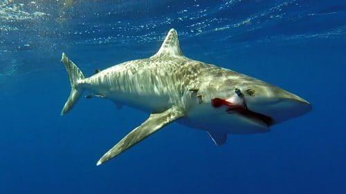 Whitetip shark before releasing - www.rodfishingclub.com - Rodrigues - Mauritius - Indian Ocean