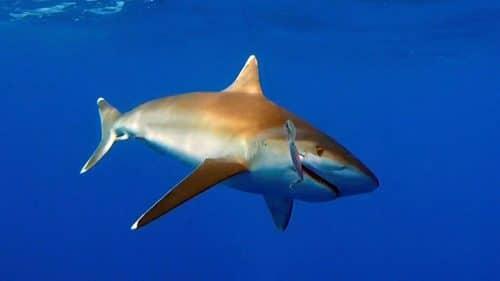 Whitetip shark on trolling on a rapala X Rap - www.rodfishingclub.com - Rodrigues - Mauritius - Indian Ocean