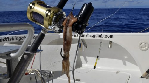 Appat pour xiphias - www.rodfishingclub.com - Rodrigues - Maurice - Ocean Indien