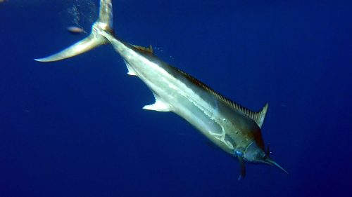 Black marlin before release- www.rodfishingclub.com - Rodrigues - Mauritius - Indian Ocean