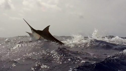 Black marlin jumping - www.rodfishingclub.com - Rodrigues - Mauritius - Indian Ocean