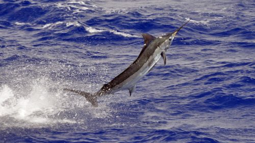 Blue marlin on trolling - www.rodfishingclub.com - Rodrigues - Mauritius - Indian Ocean