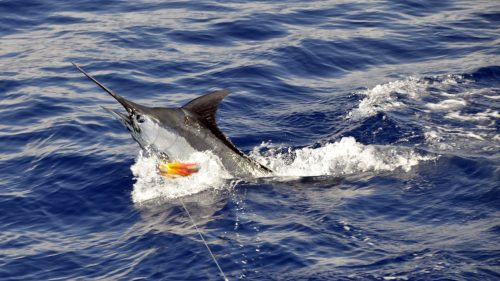 Blue marlin on trolling - www.rodfishingclub.com - Rodrigues - Mauritius - Indian Ocean