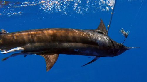 Gps tag for this marlin on trolling - www.rodfishingclub.com - Rodrigues - Mauritius - Indian Ocean
