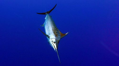 Marlin bleu en peche a la traine - www.rodfishingclub.com - Rodrigues - Maurice -Ocean Indien